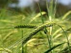 小麦的做法大全
