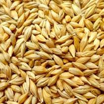 大麦的做法大全